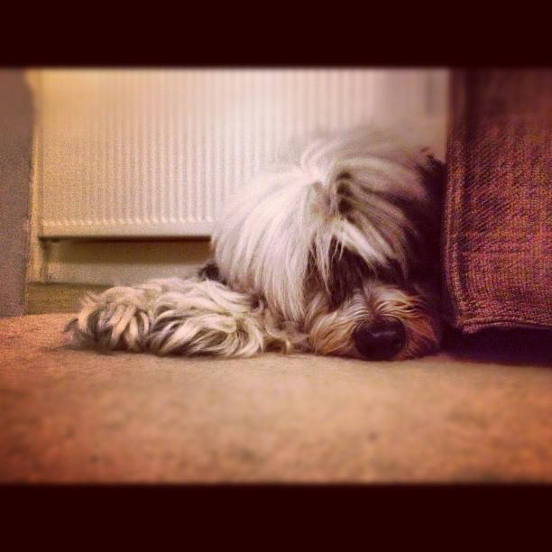 Toby, the Tibetan Terrier